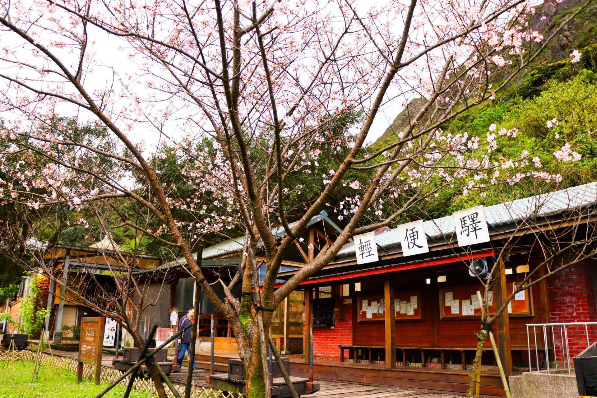 金瓜石黃金博物館 輕便驛櫻花樹